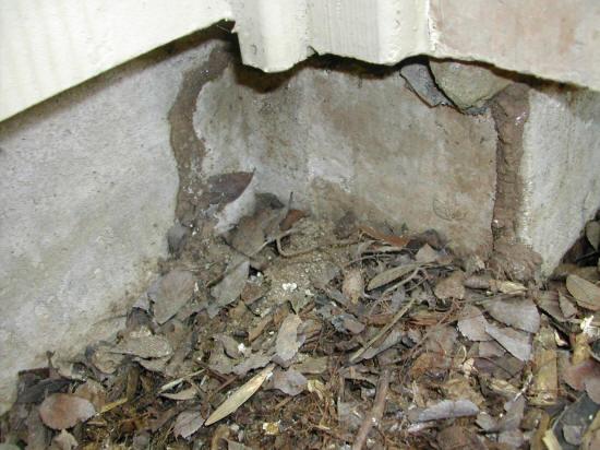 subterranean termite shelter soil